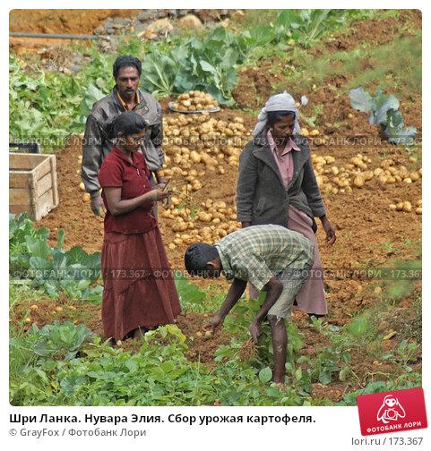 Купить «Шри Ланка. Нувара Элия. Сбор урожая картофеля.», фото № 173367, снято 9 января 2008 г. (c) GrayFox / Фотобанк Лори