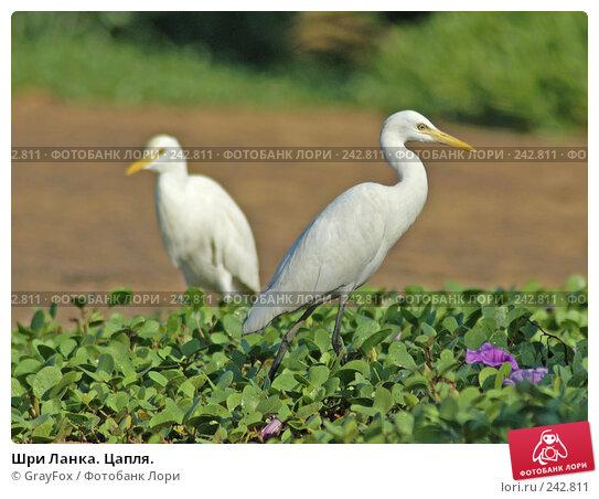 Купить «Шри Ланка. Цапля.», фото № 242811, снято 5 января 2008 г. (c) GrayFox / Фотобанк Лори