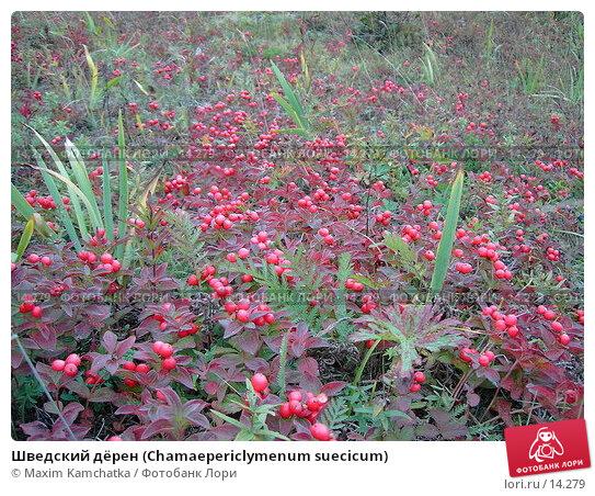 Купить «Шведский дёрен (Chamaepericlymenum suecicum)», фото № 14279, снято 5 сентября 2006 г. (c) Maxim Kamchatka / Фотобанк Лори