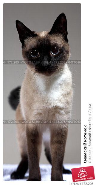 Сиамский котенок, фото № 172203, снято 24 декабря 2007 г. (c) Коваль Василий / Фотобанк Лори