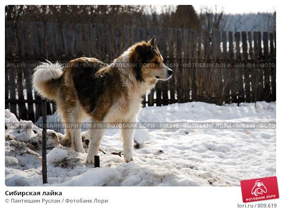 Купить «Сибирская лайка», фото № 809619, снято 1 апреля 2009 г. (c) Пантюшин Руслан / Фотобанк Лори