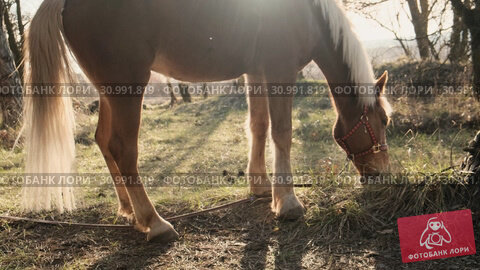 Side view of beautiful male horse grazing grass in a misten wood early morning slow motion. Стоковое видео, видеограф Denis Mishchenko / Фотобанк Лори