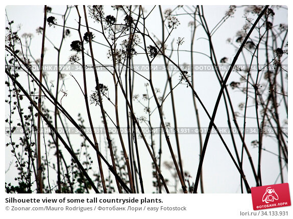 Купить «Silhouette view of some tall countryside plants.», фото № 34133931, снято 6 июля 2020 г. (c) easy Fotostock / Фотобанк Лори