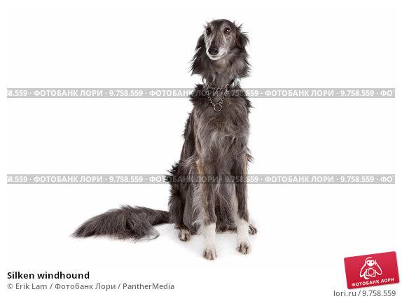 Купить «Silken windhound», фото № 9758559, снято 15 сентября 2019 г. (c) PantherMedia / Фотобанк Лори