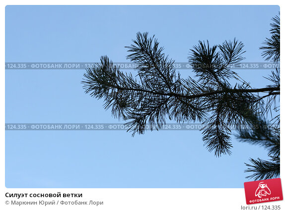 Силуэт сосновой ветки, фото № 124335, снято 22 сентября 2007 г. (c) Марюнин Юрий / Фотобанк Лори