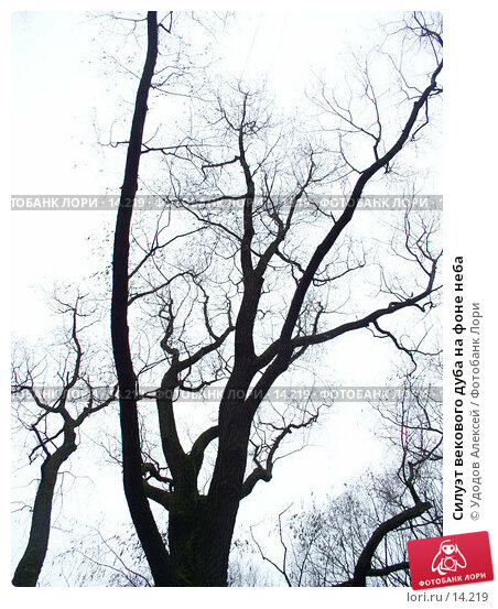 Силуэт векового дуба на фоне неба, фото № 14219, снято 30 ноября 2006 г. (c) Удодов Алексей / Фотобанк Лори