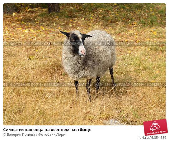 Купить «Симпатичная овца на осеннем пастбище», фото № 6354539, снято 18 августа 2014 г. (c) Валерия Попова / Фотобанк Лори