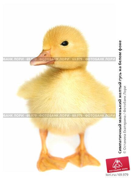 Симпатичный маленький желтый гусь на белом фоне, фото № 69979, снято 23 мая 2007 г. (c) Останина Екатерина / Фотобанк Лори