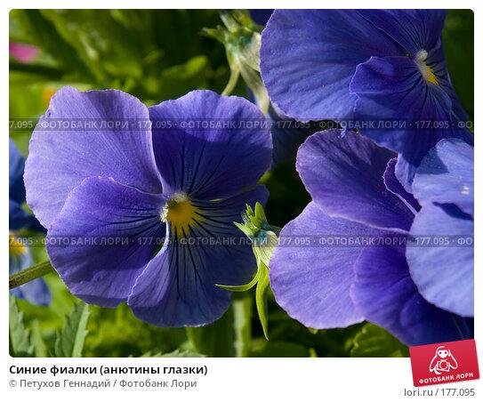Синие фиалки (анютины глазки), фото № 177095, снято 30 июня 2007 г. (c) Петухов Геннадий / Фотобанк Лори