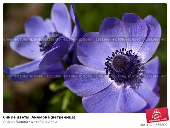 Купить «Синие цветы. Анемона (ветреница)», фото № 1536999, снято 10 июня 2009 г. (c) Инга Емцова / Фотобанк Лори