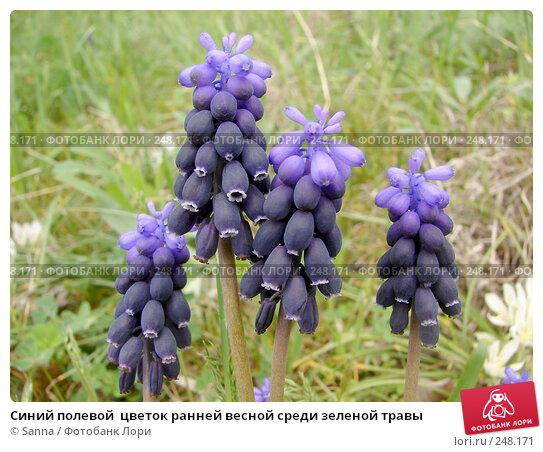 Синий полевой  цветок ранней весной среди зеленой травы, фото № 248171, снято 8 апреля 2008 г. (c) Sanna / Фотобанк Лори