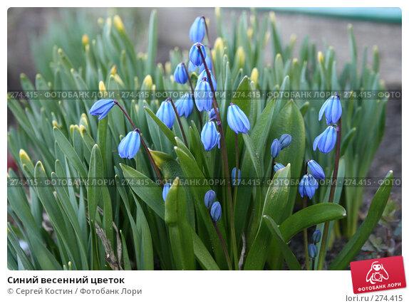 Синий весенний цветок, фото № 274415, снято 3 мая 2008 г. (c) Сергей Костин / Фотобанк Лори