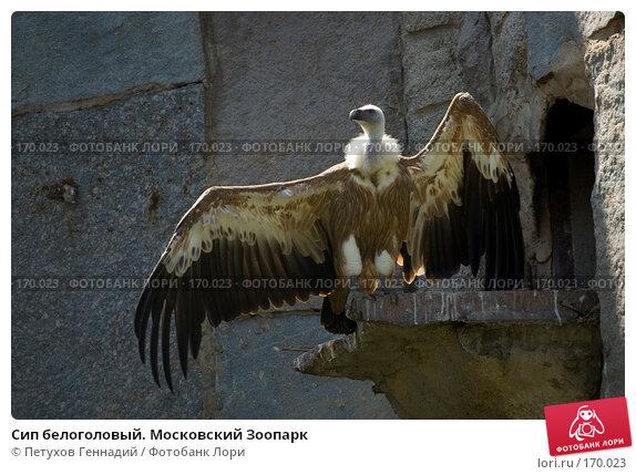 Сип белоголовый. Московский Зоопарк, фото № 170023, снято 23 июня 2007 г. (c) Петухов Геннадий / Фотобанк Лори