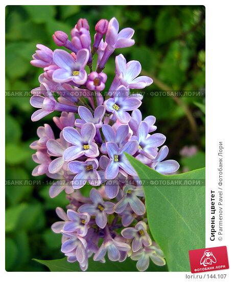 Сирень цветет, фото № 144107, снято 29 мая 2004 г. (c) Parmenov Pavel / Фотобанк Лори