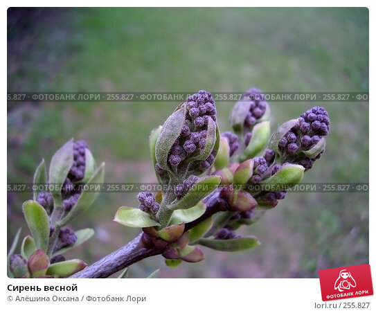 Купить «Сирень весной», фото № 255827, снято 17 апреля 2008 г. (c) Алёшина Оксана / Фотобанк Лори