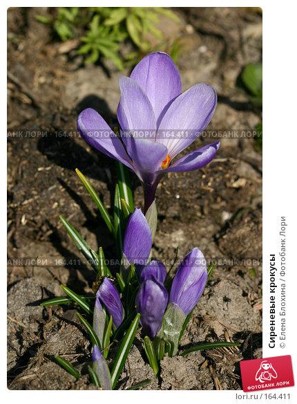 Сиреневые крокусы, фото № 164411, снято 28 марта 2007 г. (c) Елена Блохина / Фотобанк Лори