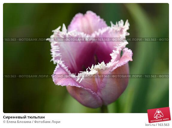 Сиреневый тюльпан, фото № 163563, снято 14 мая 2007 г. (c) Елена Блохина / Фотобанк Лори