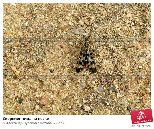 Скорпионница на песке, фото № 99091, снято 2 июля 2005 г. (c) Александр Чураков / Фотобанк Лори