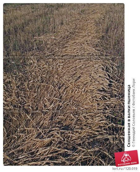 Купить «Скошенная в валки пшеница», фото № 120019, снято 3 сентября 2007 г. (c) Геннадий Соловьев / Фотобанк Лори