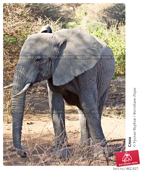 Слон, фото № 462827, снято 26 ноября 2006 г. (c) Руслан Якубов / Фотобанк Лори