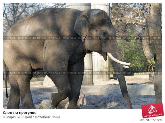 Слон на прогулке, фото № 153591, снято 10 декабря 2007 г. (c) Марюнин Юрий / Фотобанк Лори