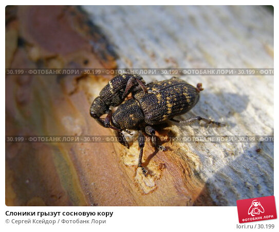 Слоники грызут сосновую кору, фото № 30199, снято 1 июня 2006 г. (c) Сергей Ксейдор / Фотобанк Лори