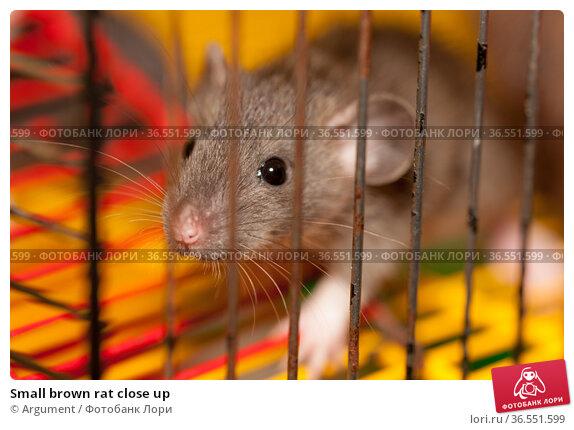 Small brown rat close up. Стоковое фото, фотограф Argument / Фотобанк Лори