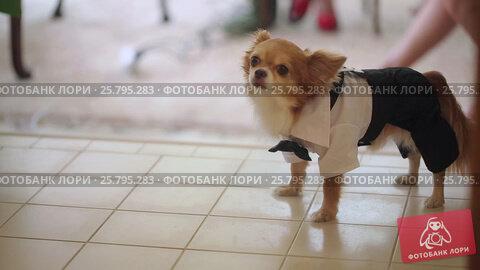 Small dog in celebration suit, видеоролик № 25795283, снято 16 марта 2016 г. (c) Алексей Макаров / Фотобанк Лори