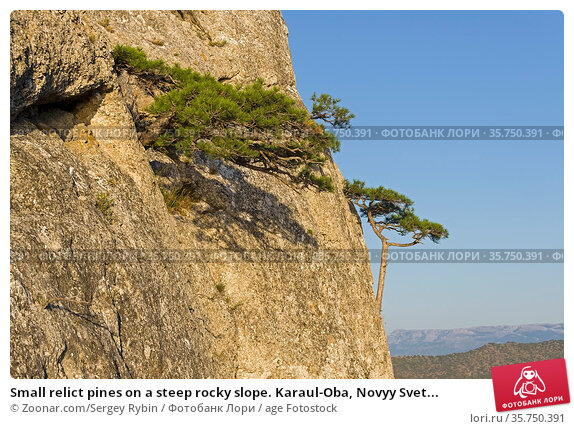 Small relict pines on a steep rocky slope. Karaul-Oba, Novyy Svet... Стоковое фото, фотограф Zoonar.com/Sergey Rybin / age Fotostock / Фотобанк Лори