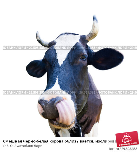 Купить «Смешная черно-белая корова облизывается, изолировано на белом фоне», фото № 29508383, снято 20 сентября 2019 г. (c) Екатерина Овсянникова / Фотобанк Лори