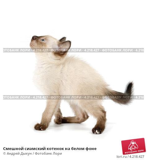 Смешной сиамский котенок на белом фоне. Стоковое фото, фотограф Андрей Дыкун / Фотобанк Лори
