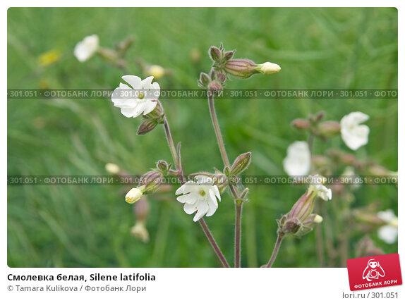 Смолевка белая, Silene latifolia, фото № 301051, снято 27 мая 2008 г. (c) Tamara Kulikova / Фотобанк Лори