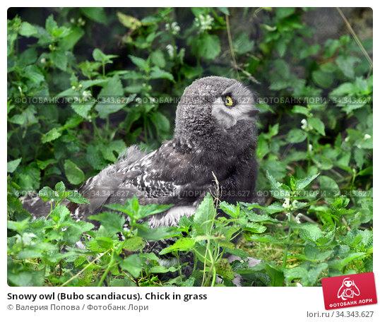 Snowy owl (Bubo scandiacus). Chick in grass. Стоковое фото, фотограф Валерия Попова / Фотобанк Лори