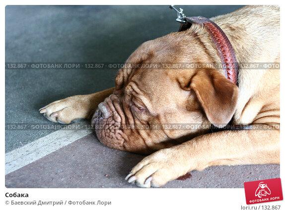 Собака, фото № 132867, снято 16 сентября 2007 г. (c) Баевский Дмитрий / Фотобанк Лори