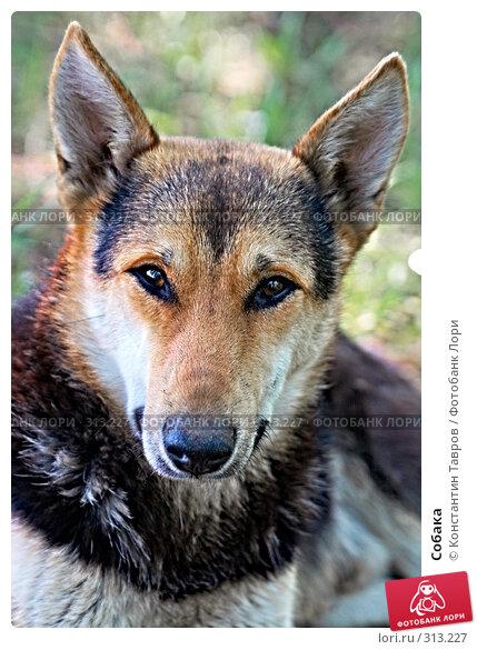 Собака, фото № 313227, снято 12 мая 2008 г. (c) Константин Тавров / Фотобанк Лори