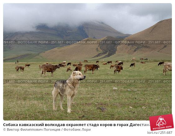 Собака кавказский волкодав охраняет стадо коров в горах Дагестана, фото № 251687, снято 15 мая 2007 г. (c) Виктор Филиппович Погонцев / Фотобанк Лори
