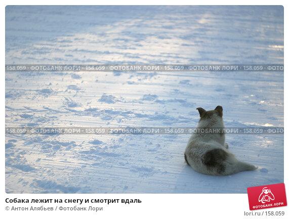 Собака лежит на снегу и смотрит вдаль, фото № 158059, снято 8 марта 2006 г. (c) Антон Алябьев / Фотобанк Лори