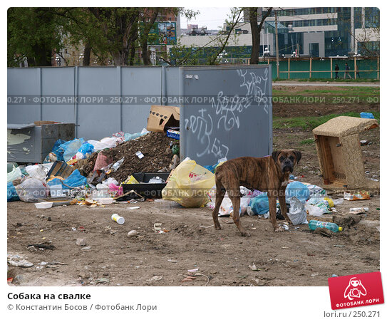 Собака на свалке, фото № 250271, снято 3 декабря 2016 г. (c) Константин Босов / Фотобанк Лори