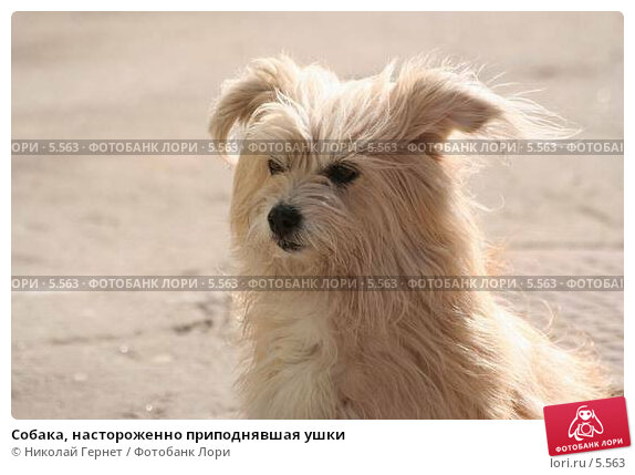 Собака, настороженно приподнявшая ушки, фото № 5563, снято 1 мая 2006 г. (c) Николай Гернет / Фотобанк Лори
