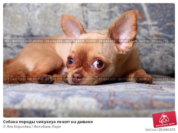 Купить «Собака породы чихуахуа лежит на диване», фото № 28644015, снято 23 июня 2018 г. (c) Яна Королёва / Фотобанк Лори