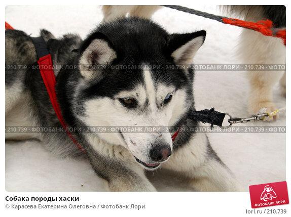 Собака породы хаски, фото № 210739, снято 7 февраля 2008 г. (c) Карасева Екатерина Олеговна / Фотобанк Лори