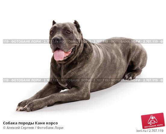 Купить «Собака породы Кане корсо», фото № 2707119, снято 11 июня 2011 г. (c) Алексей Сергеев / Фотобанк Лори