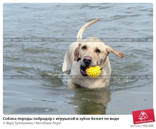 Купить «Собака породы лабрадор с игрушкой в зубах бежит по воде», фото № 150995, снято 21 апреля 2018 г. (c) Вера Тропынина / Фотобанк Лори
