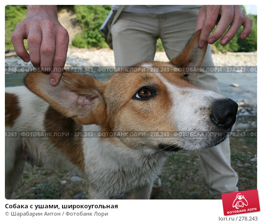 Собака с ушами, широкоугольная, фото № 278243, снято 2 июня 2007 г. (c) Шарабарин Антон / Фотобанк Лори