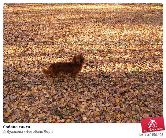 Собака такса, фото № 156103, снято 29 октября 2006 г. (c) Дудакова / Фотобанк Лори