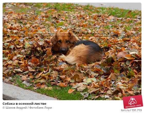 Купить «Собака в осенней листве», фото № 191719, снято 4 ноября 2006 г. (c) Шахов Андрей / Фотобанк Лори