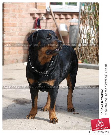Собака в стойке, фото № 250259, снято 22 июля 2017 г. (c) Константин Босов / Фотобанк Лори