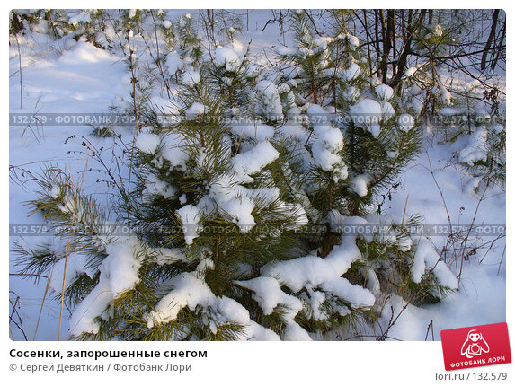Сосенки, запорошенные снегом, фото № 132579, снято 25 ноября 2007 г. (c) Сергей Девяткин / Фотобанк Лори
