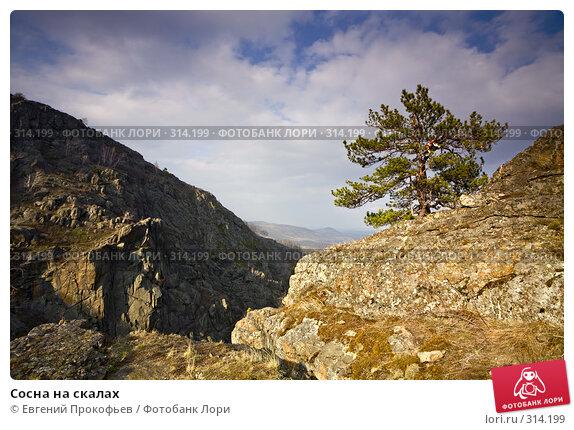 Купить «Сосна на скалах», фото № 314199, снято 2 мая 2008 г. (c) Евгений Прокофьев / Фотобанк Лори