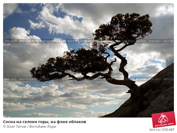 Сосна на склоне горы, на фоне облаков, фото № 210447, снято 14 сентября 2007 г. (c) Олег Титов / Фотобанк Лори
